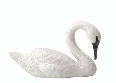 Trumpeter_Swan_Swimming